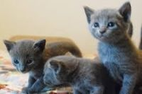 Russian Blue Cats for sale in Kansas City, KS, USA. price: NA