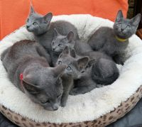 Russian Blue Cats for sale in Wilmington, NC, USA. price: NA