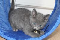 Russian Blue Cats for sale in Oklahoma City, OK, USA. price: NA
