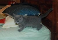 Russian Blue Cats for sale in Gainesville, FL, USA. price: NA
