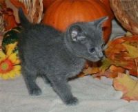 Russian Blue Cats for sale in Bakersfield, CA, USA. price: NA