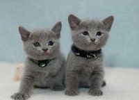 Russian Blue Cats for sale in Berkeley, CA, USA. price: NA