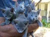 Russian Blue Cats for sale in Orlando, FL, USA. price: NA