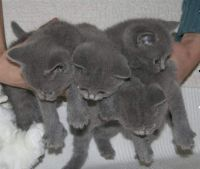 Russian Blue Cats for sale in Arlington, TX, USA. price: NA