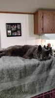 Russian Blue Cats for sale in Marana, AZ, USA. price: NA