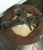 Russian Blue Cats for sale in Buffalo, NY, USA. price: NA