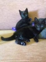 Russian Blue Cats for sale in East Los Angeles, CA, USA. price: NA