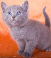 Russian Blue Cats for sale in Concord, CA, USA. price: NA