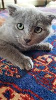 Russian Blue Cats for sale in Birmingham, AL, USA. price: NA