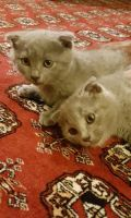 Russian Blue Cats for sale in Huntsville, AL, USA. price: NA