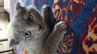 Russian Blue Cats for sale in Mobile, AL, USA. price: NA