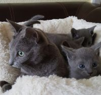 Russian Blue Cats for sale in Brooklyn, NY, USA. price: NA