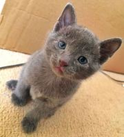 Russian Blue Cats for sale in Los Angeles, CA, USA. price: NA