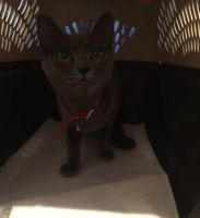 Russian Blue Cats for sale in Agua Dulce, CA 91390, USA. price: NA