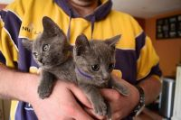 Russian Blue Cats for sale in Long Beach, CA, USA. price: NA