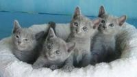 Russian Blue Cats for sale in Walnut, CA, USA. price: NA