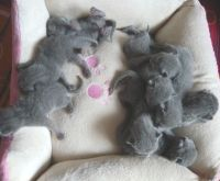 Russian Blue Cats for sale in Dallas, TX 75270, USA. price: NA