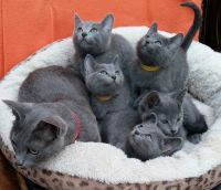 Russian Blue Cats for sale in Pennsylvania Turnpike, Pennsylvania, USA. price: NA