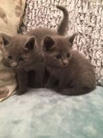 Russian Blue Cats for sale in Seattle, WA 98106, USA. price: NA