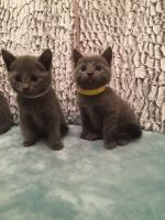 Russian Blue Cats for sale in Leesburg, VA 20176, USA. price: NA