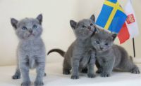 Russian Blue Cats for sale in Jacksonville, FL, USA. price: NA