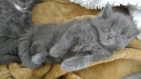 Russian Blue Cats for sale in Olympia, WA, USA. price: NA