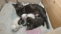 Russian Blue Cats for sale in Erie, PA, USA. price: NA