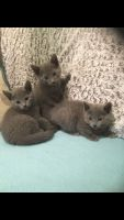 Russian Blue Cats for sale in Philadelphia County, PA, USA. price: NA