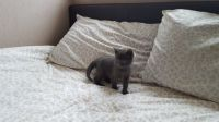 Russian Blue Cats for sale in Bronx, NY, USA. price: NA