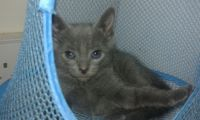 Russian Blue Cats for sale in Miami, FL, USA. price: NA