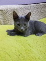 Russian Blue Cats for sale in Arlington, VA, USA. price: NA