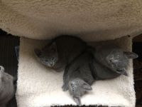 Russian Blue Cats for sale in Frisco, TX, USA. price: NA