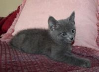 Russian Blue Cats for sale in Temple City, CA, USA. price: NA