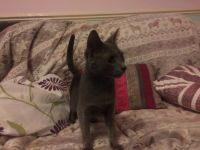 Russian Blue Cats for sale in Bedford, OH 44146, USA. price: NA