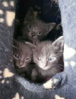 Russian Blue Cats for sale in Philadelphia, PA 19107, USA. price: NA