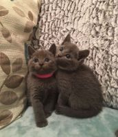 Russian Blue Cats for sale in San Jose, CA, USA. price: NA