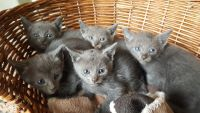 Russian Blue Cats for sale in Minneapolis, MN, USA. price: NA