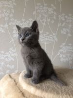 Russian Blue Cats for sale in Bronx, NY 10462, USA. price: NA