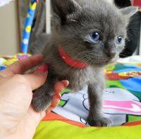 Russian Blue Cats for sale in Burgettstown, PA 15021, USA. price: NA