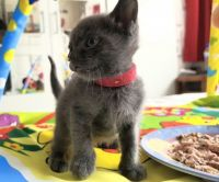 Russian Blue Cats for sale in NJ-3, Clifton, NJ, USA. price: NA