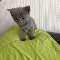 Russian Blue Cats for sale in New York County, NY, USA. price: NA