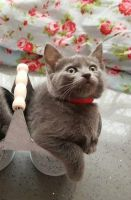 Russian Blue Cats for sale in Columbus, OH, USA. price: NA