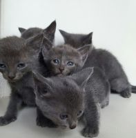 Russian Blue Cats for sale in Huntsville, TX, USA. price: NA