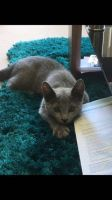 Russian Blue Cats for sale in Boston, MA, USA. price: NA