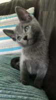 Russian Blue Cats for sale in Austin, TX, USA. price: NA
