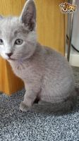 Russian Blue Cats for sale in Texas City, TX, USA. price: NA