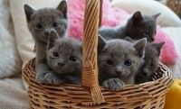 Russian Blue Cats for sale in Houston, TX, USA. price: NA