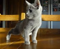 Russian Blue Cats for sale in Seattle, WA 98161, USA. price: NA