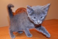 Russian Blue Cats for sale in San Marcos, TX 78666, USA. price: NA