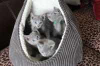 Russian Blue Cats for sale in 229th Dr, Live Oak, FL 32060, USA. price: NA